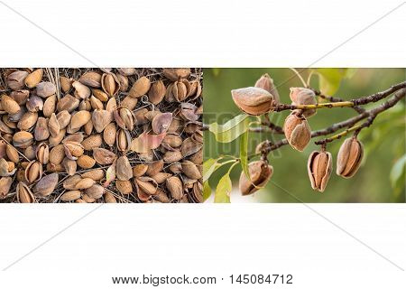 Two photos collage of ripe almonds on the branches and harvesting almonds on white background. Collage from 2 photos of ripe almonds. Horizontal. Daylight.