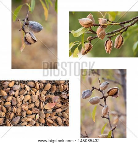 Collage of ripe almonds on the branches and harvesting almonds 4 photos on the white background. Collage from 4 photos of ripe almonds. Horizontal. Vertical. Daylight.