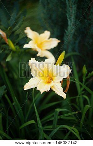 Yellow Daylily (Hemerocallis) on a beautiful spring in a garden.