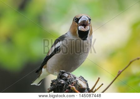 Crying Hawfinch (Coccothraustes coccothraustes) in autumn. Moscow region Russia