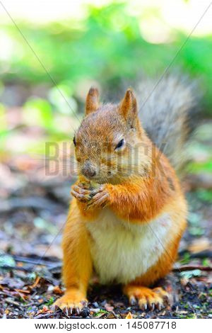 Squirrel eating a nut closeup. Eyes squinting.