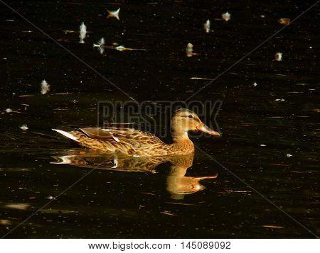 Wild mallard duck swimming on lake during day