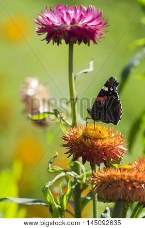 Red Admiral (Vanessa atalanta) butterfly feeding on Strawflower (Xerochrysum bracteatum), shallow depth of focus.