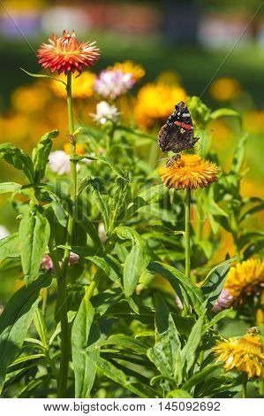 Red Admiral (Vanessa atalanta) butterfly feeding on Strawflower (Xerochrysum bracteatum)