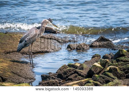 Great Blue Heron looking for a fish on the Chesapeake Bay in Maryland