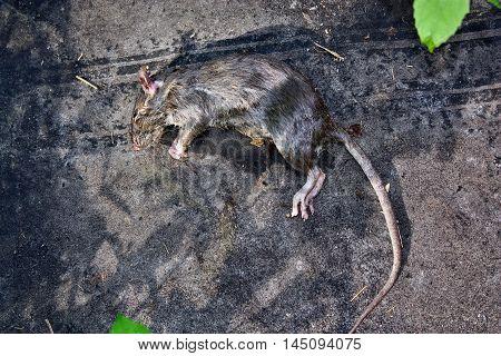 Poisoned Rodent Rat