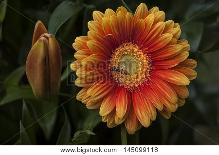 Gerbera Floral Summer Flower Romantic Garden Impression