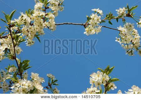 Branch Of Cherry Flowers
