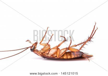Close Up Cockroach Isolated On A White
