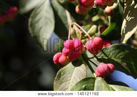 Fruits of a common spindle bush (Euonymus europaeus)
