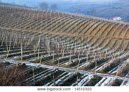 Winter Vineyard, whole field covered by the snow