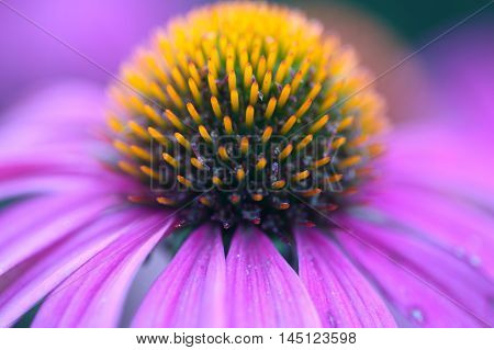 Macro photo of a purple coneflower (Echinacea purpurea)