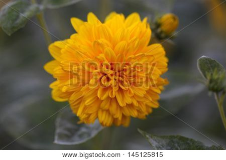 Flower of a cultivation form of the thinleaf sunflower (Helianthus decapetalus)