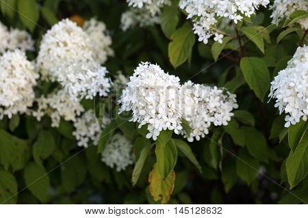 Flowers of a panicled hydrangea (Hydrangea paniculata)