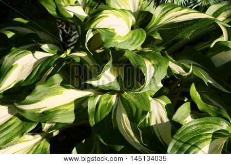 bright green spring leaves of a plant Hosta