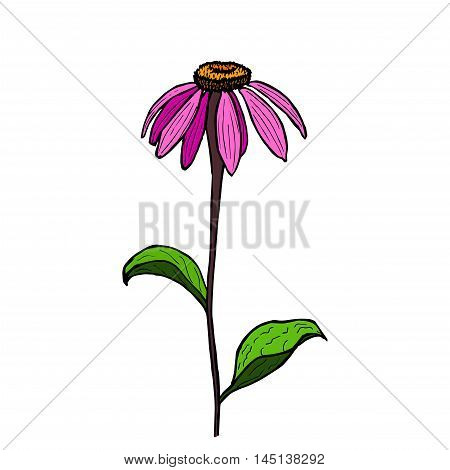 Vector illustration flower Echinacea. Color hand drawing Echinacea.