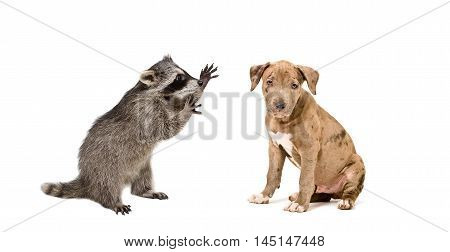 Playful raccoon and a cute pitbull puppy isolated on a white background