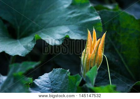 Zucchini (Cucurbita pepo) yellow flower and green leaves. Close up. Flowering zucchini in the vegetable garden. Zucchinis flower drowing detail. Organic vegetables in the farm.