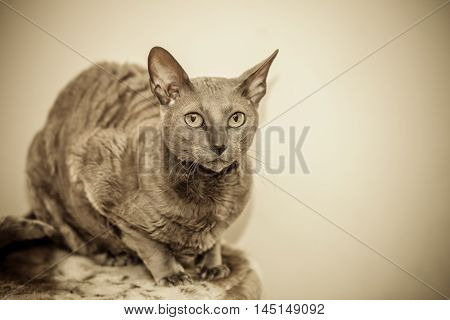 Animals at home. Egyptian mau cat portrait indoor