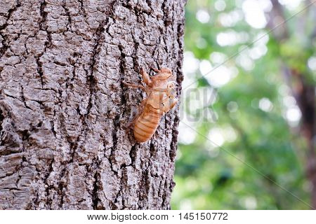 Molting cicada close up with stuck in the bark