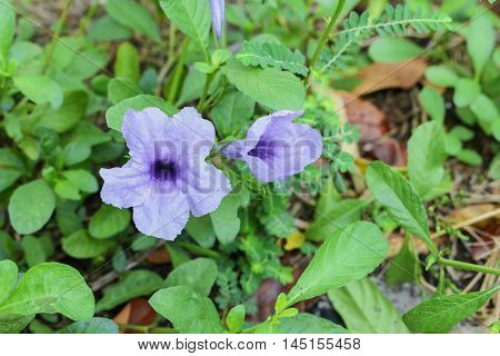 purple ruellias flower bloom in the morning. (Ruellia tuberosa Linn. Waterkanon Watrakanu Feverroot Popping pod)