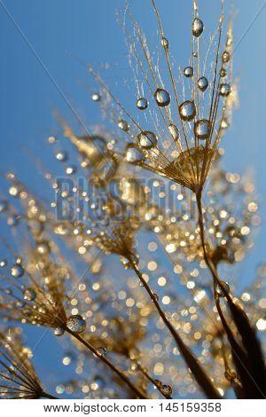 Dew drops on a dandelion seeds close up.