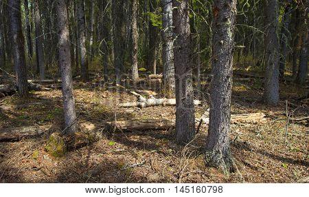 Mid day sun in a forest located in Saskatchewan Canada