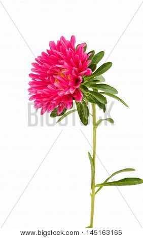 red aster flower on a white background