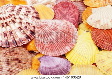 Background of colorful sea shells of mollusk close up.