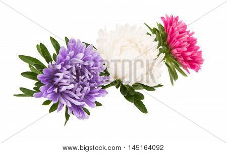 aster flower bloom  on a white background