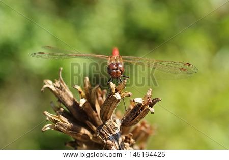 close photo of big red dragonfly on the sear plant