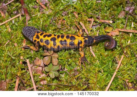Italian crested newt (Triturus carnifex) exposing his colourful belly