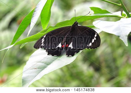Beautiful close up of a black and red spotted butterfly