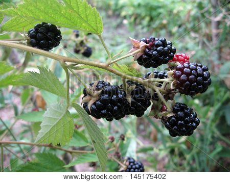 Blackberry plant with berries and green leaves in the garden and on the field. Photo for backgrounds