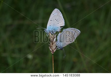 Cuple of common blue butterfly (Polyommatus icarus) mating on a flower