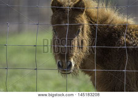 Brown miniature horse face and neck behing a hog wire fence