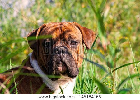 the one-year-old puppy of the german boxer lying on the grass cuttings in the autumn, sunny evening, attentive, very dirty snout in the sand