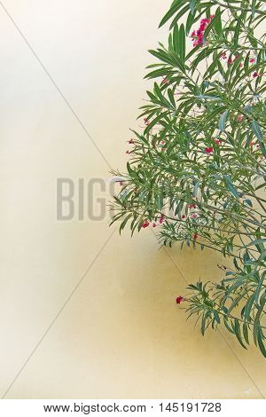Yellow wall with oleander bush green leaves and purple flowers background copy space Mallorca Balearic islands Spain in August.