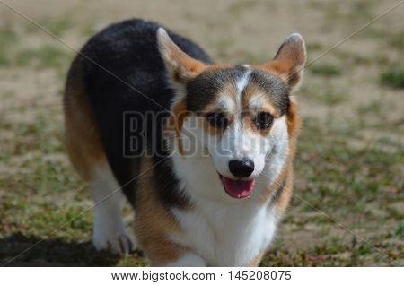 Adorable faced Welsh corgi dog on grass.