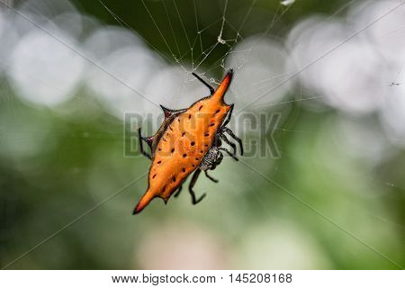 Indonesia Spiny Spider Orange Black Spotted Close Up