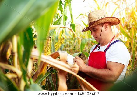 Old Farmer checking his cornfield on the summer day