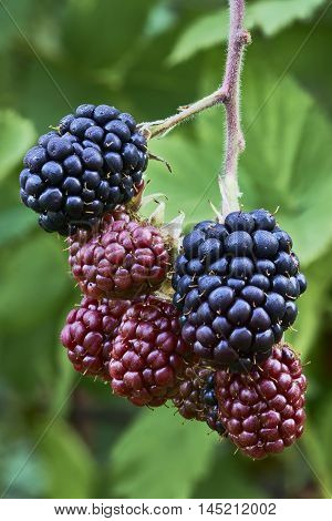 Detailed view to ripened blackberries on the green background
