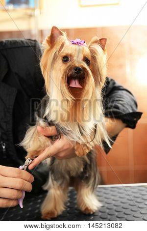 Canine hairdresser cutting dog's nails in salon