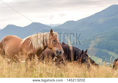 Wild Horses In The Carpathians, Ukraine Carpathian Landscape.