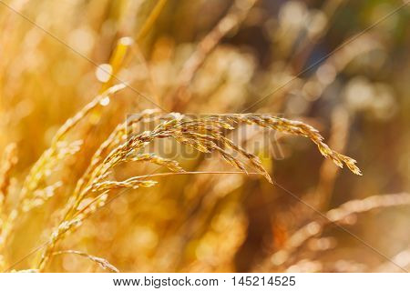 Golden grass in sunny windy day, autumn or summer meadow in sunset light. Natural background, beautiful landscape of nature, selective focus.