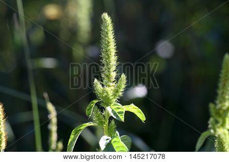 Flowers of a red root amaranth (Amaranthus retroflexus)