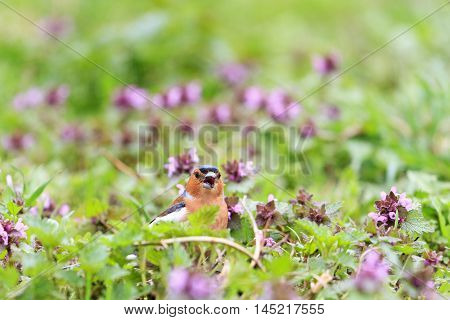 Chaffinch singing the song of pink flowers, singing birds, spring singing, beautiful picture
