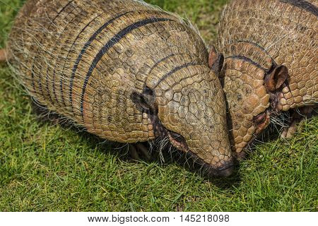 Armadillo Armour Shell Animal South America Wildlife