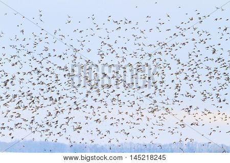songbirds fly among the dark sky, unique moment, migration, together we are stronger, flock of birds flying