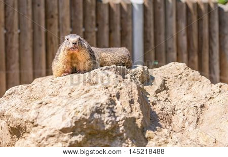 Horizontal photo of marmot which is laying on a piece of rock. Animal is located in a zoo in front of wooden fence from pillars. Teeth and of rodent are nicely visible.